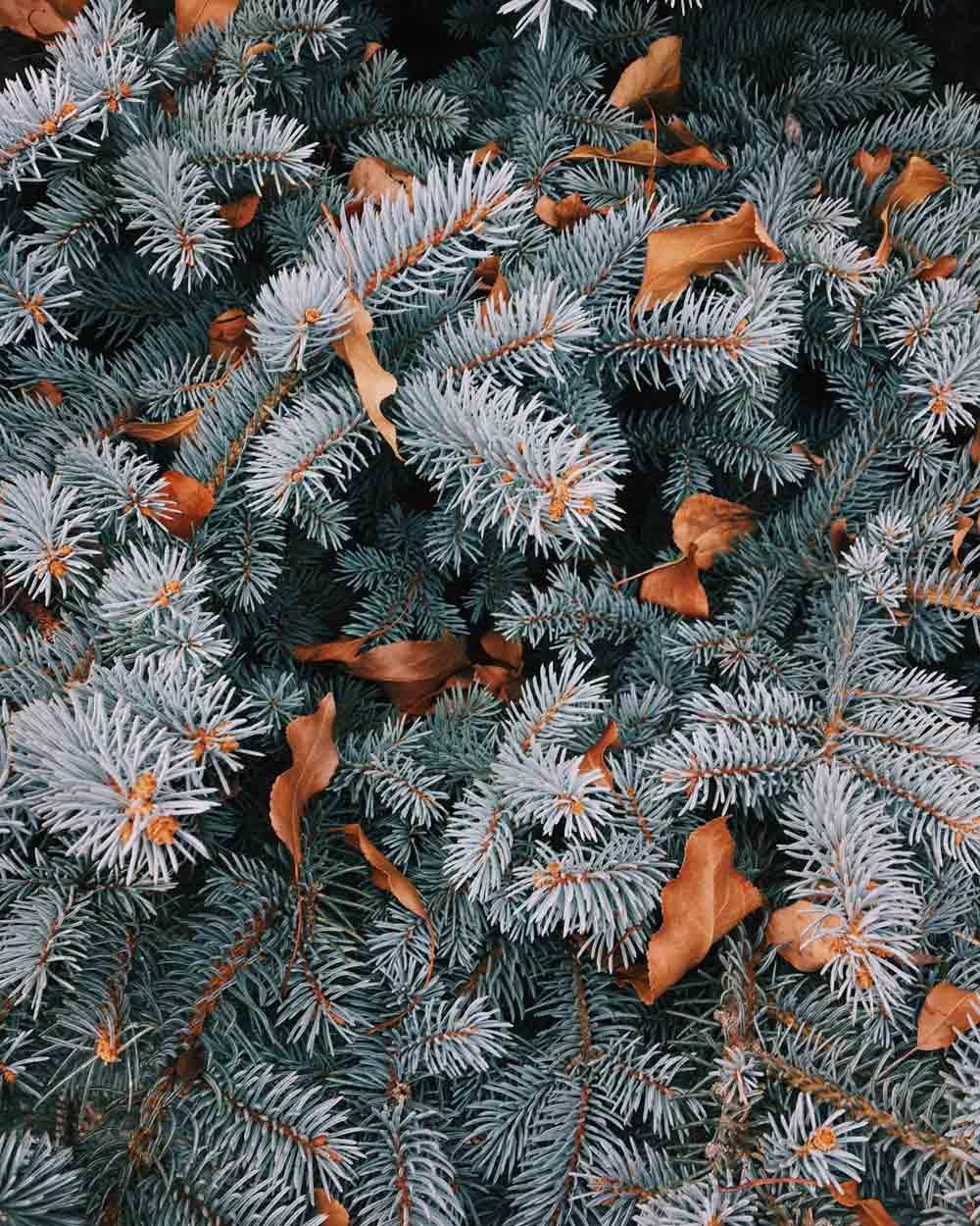 idee-per-vetrine-invernali,-aghi-di-pino-per-decorazioni-invernali